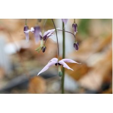 Shade Monthly - Special Epimedium Edition