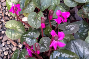 Planting for winter colour, (Cyclamen coum)
