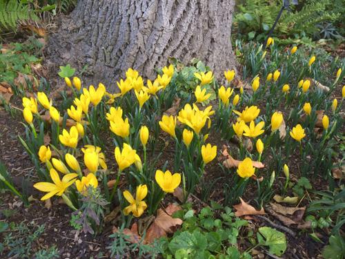 [Изображение: sternbergia-lutea-under-a-tree.jpg]