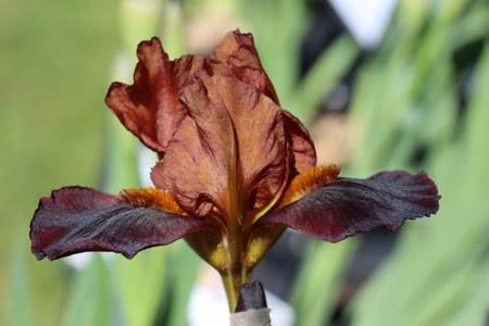 Cuttings from the Flower Garden - Iris