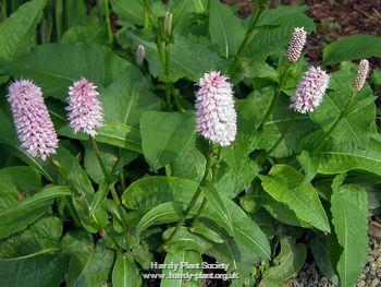 FREE P//P WHEN YOU BUY 3 ITEMS Persicaria virginiana /'Comptons Form/' 1 PLANT