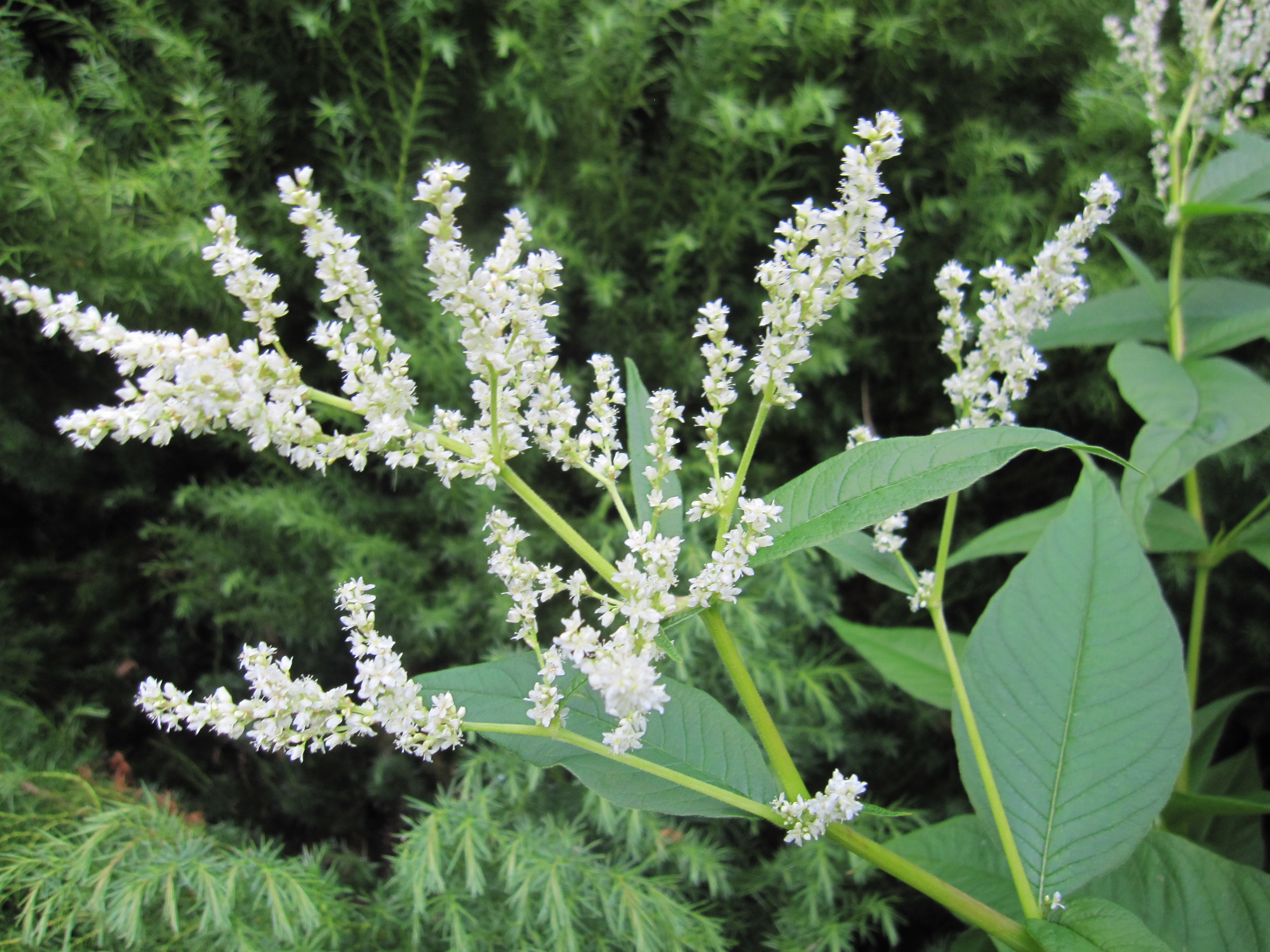 Hps Plant Of The Month July 2015